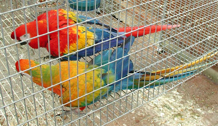 Yellow Dominant Camelot Macaw hen with Scarlet Macaw male